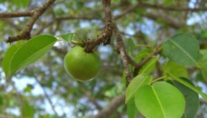 manchineel_apple.jpg.653x0_q80_crop-smart